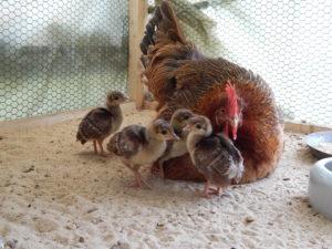 Pfauen Hühner