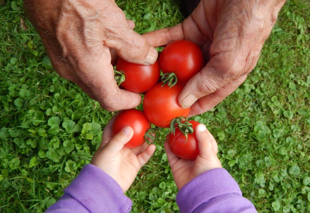 Opa und Enkel bei der Tomaten Ernte