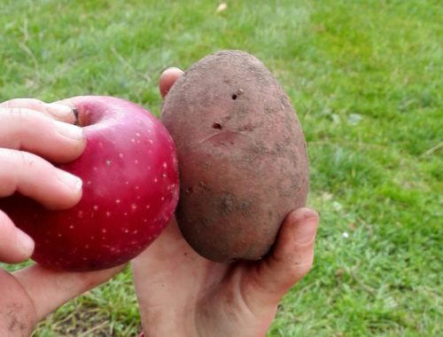 Apfel Kartoffel